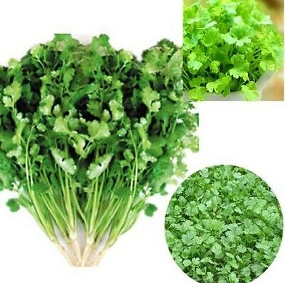 CILANTRO CORIANDER Coriandrum Sativum Herb Vegetables Spices Seed 100PC g