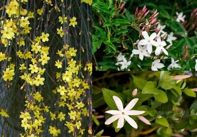 3 Mixed Climbing Jasmine Plants, Beautiful Selection Of Jasminum For Any Garden