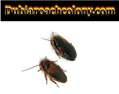 20 pregnant females and 10 male Adult dubia roaches FREE SHIPPING feeders Roach