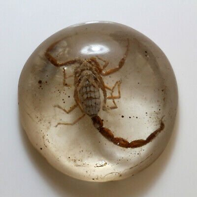 Very Interest Vintage Egyptian Real Scorpion In Glass