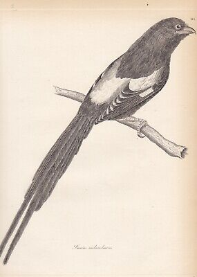 "1827 Antique Bird Etching - African ""Magpie Shrike"" - Jardine/Selby - W.H.Lizars"
