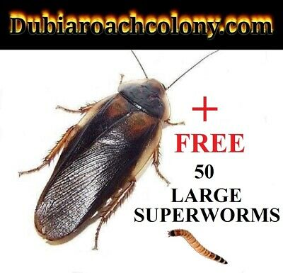40 NEWLY molted Adult Males + FREE SUPERWORMS FREE SHIPPING feeders dubia