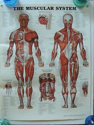 Medical Poster The Muscular System Doctor Wall Chart Laminated Anatomy P. Bachin