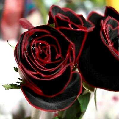 10 graines Rosier Rose NOIR & ROUGE SANG 10x BLACK RED BLOOD Rose rosebush seeds