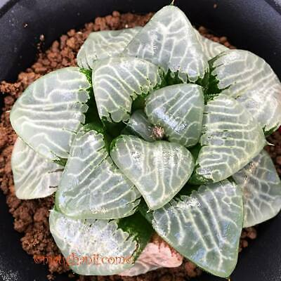 Haworthia cv /'Azarashi/' XXL grower 10 fresh seeds 2019 Succulent Set 211