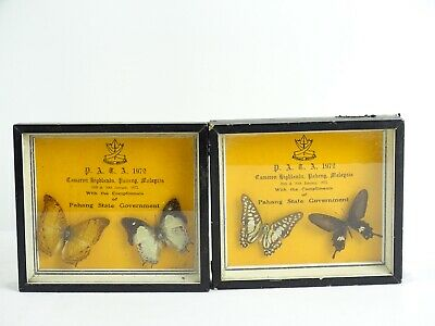 c1972 Taxidermy Butterflies from Cameron Highlands Pahang Malaysia