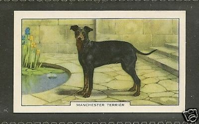 1938 Dog Art Gallaher Cigarette Card STANDARD BLACK & AND TAN MANCHESTER TERRIER