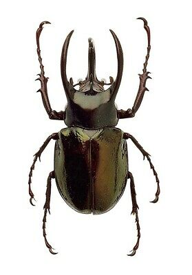 Chalcosoma chiron 100 mm enorme A1 d/'Indonesie!!Entomologie Insect Insecte