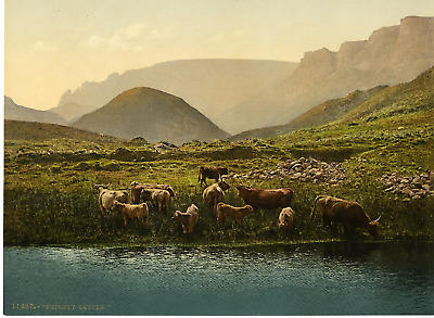 Thirsty Cattle. PZ Vintage Photochromie, England photochromie, vintage photoch
