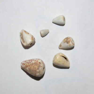 (9131) Lot of 6 Cowry shell money from Silk Road, Samarqand Soghd.