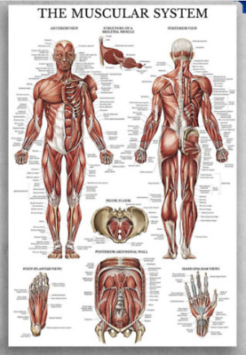 The Muscular System Anterior View Muscles Poster No Frame