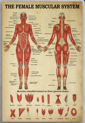 The Female Muscular System Muscles Classified Based On Their Poster No Frame