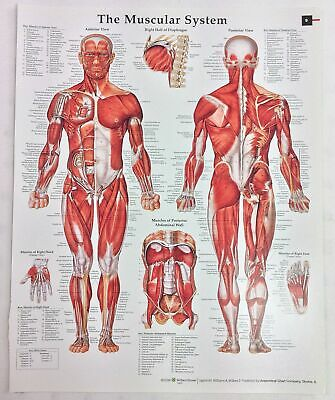 Anatomy and Pathology Book Print 2008 Small Anatomy Chart - The Muscular System