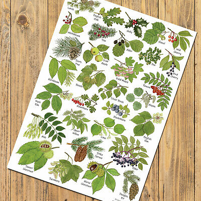 British Tree Leaves Identification Chart A4 Card Poster Art Print Flora Fruits