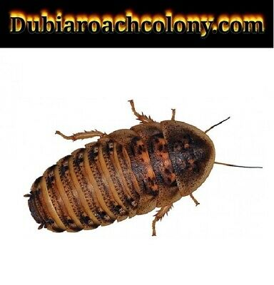 100ct Large Dubia Roaches feeders FREE FAST SHIPPING blaptica nymphs bugs xl