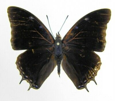 44) Papillon Nymphalidae Charaxes Etheocles Etheocles Afrique Entomologie A1 ♂