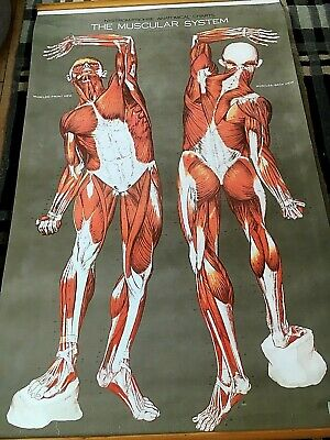 Large, vintage Nystrom/Frohse anatomica chart Muscles, anterior/ posterior views