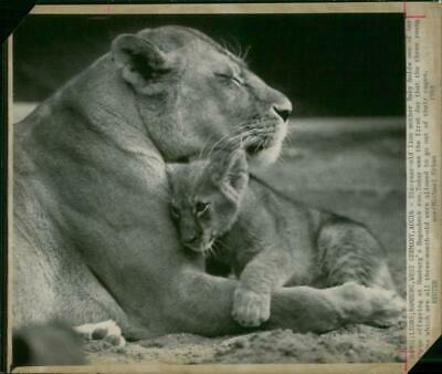 Animal: Baby a six years old lioness - Vintage photograph