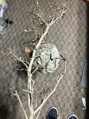 Bald Hornet Nest Bee Home Wasp House Bees Hive For Science Taxidermy Man Face