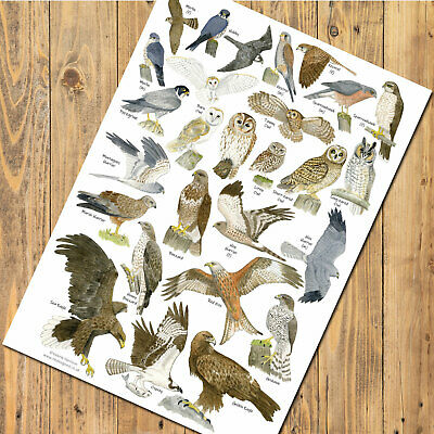 A4 British Birds of Prey Owl Identification Chart Wildlife Card Poster Art Print