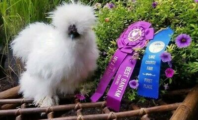 1 EGG OR MORE Show Quality Bearded Silkie Hatching Eggs Crested and Bearded NPIP