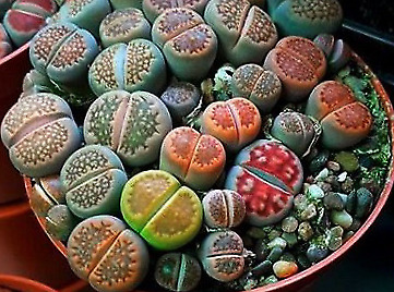 """Lithops - """"living stones of happiness"""""""