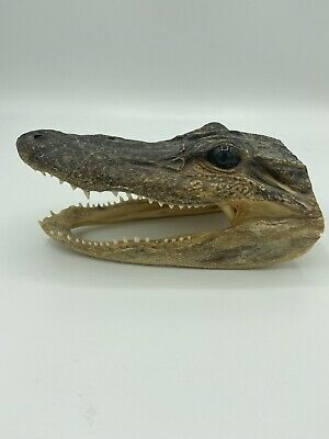 Real Aligator Head Decoration Preserved Taxidermy