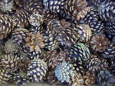 200+ Natural Quality Fir Pine Cones Craft Christmas Decorations Fast Dispatch