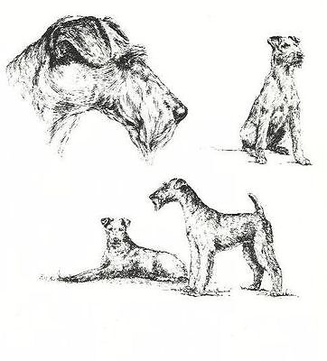 Irish Terrier - 1963 Vintage Dog Print - Matted *
