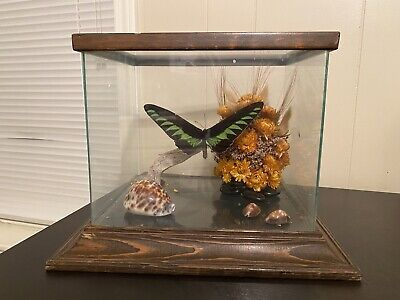 Vintage Style Real Mounted Taxidermy Butterfly Display In Glass Display Oddities