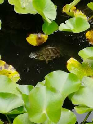 Digital Image Picture Photograph Wallpaper Free Delivery 100% positive - Turtle