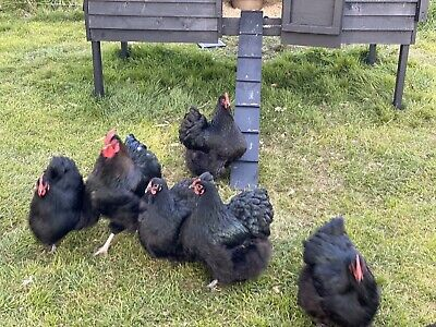 6 X Black Orpington Hatching Eggs
