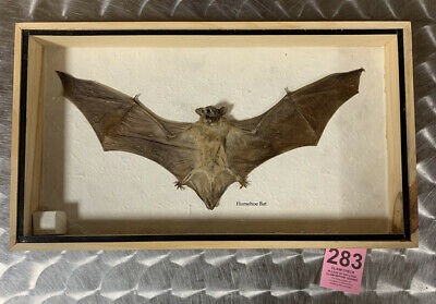 Real Rare Horseshoe Big Bat Taxidermy Insect Display In Wood Box Collectible
