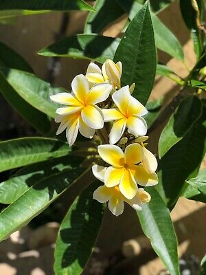 LONG UNROOTED 9-12 IN HAWAIIAN WHITE PLUMERIA PLANT CUTTING