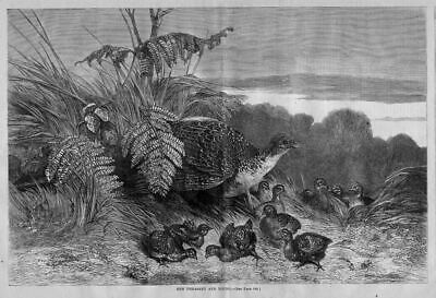 Hen Pheasant And Young Bird Fowl Antique Pheasant Print