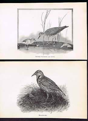 Meadowlark & Spotted Sandpiper 1909 Antique Bird Prints