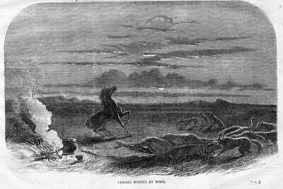 Prairie Wolves At Work Killing Horses, Antique Print