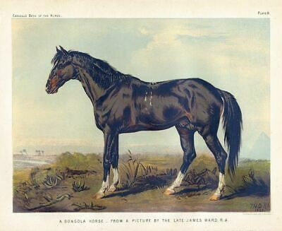 Dongola Horse Rare Breed Chromolithograph Hunting Horse