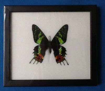 Real Madagascar Sunset Moth Framed Butterfly Taxidermy