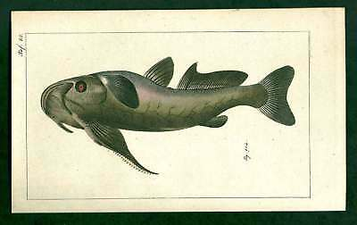 Military Catfish- Siegrist Natural History Fish Antique