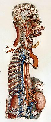 Repro 19th Century Anatomical Print by Paolo Mascagni