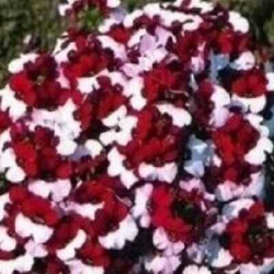 Nemesia - Danish Flag - 50 Seeds