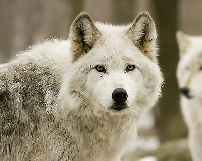 Wolf 8 x 10 / 8x10 GLOSSY Photo Picture IMAGE #16