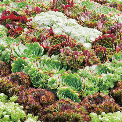 Sempervivum - Species Mixed - 250 Seeds