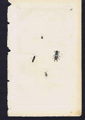 ELATER SPUTATOR. COLEOPTERA - 1802 Donovan Hand Colored Plate #96
