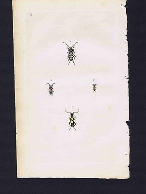 GREAT WASP BETTLE-Leptura Arcuata- 1794 Donovan Hand Colored Plate #84