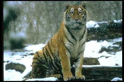 485005 Siberian Tiger In The Snow A4 Photo Print