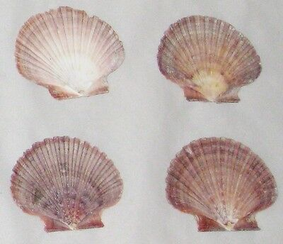 "Brown Flat 3"" Natural Multicolor Craft Sea Shells - Lot of 4"