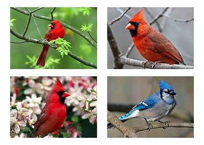 4 - Birds / Bird - Red Cardinal & Blue Jay 5 x 7 / 5x7 GLOSSY Photo Picture LOT