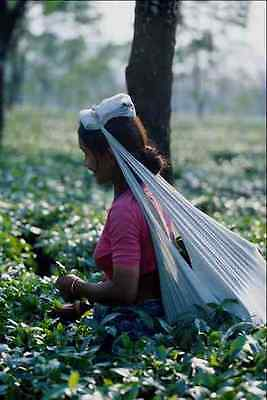 768079 Tea Picking Northern India A4 Photo Print